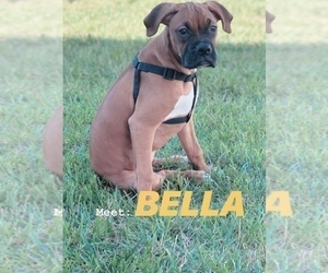 Boxer Puppy for sale in UPPER MARLBORO, MD, USA