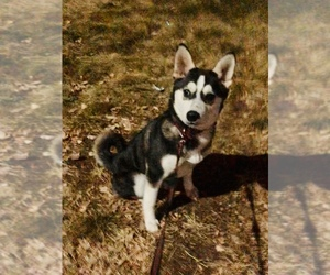 Alaskan Klee Kai Puppy for sale in CO SPGS, CO, USA