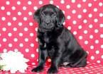 Golden Lab Puppy for Sale