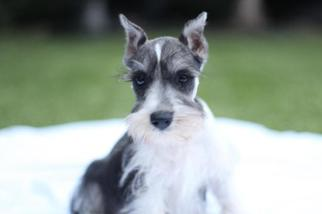 Schnauzer (Miniature) Puppy For Sale in AZLE, TX, USA