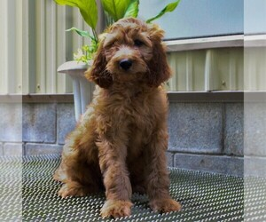 Irish Doodle Puppy for sale in COATESVILLE, PA, USA