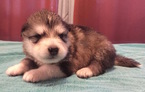 Puppy 7 Alaskan Malamute