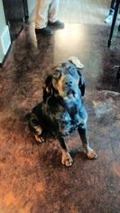 Bluetick Coonhound Puppy for sale in YELM, WA, USA