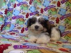 Mutt Puppy For Sale in PATERSON, NJ