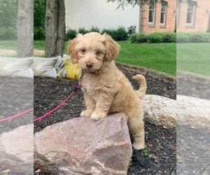 Goldendoodle Dog for Adoption in WESTERVILLE, Ohio USA