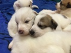 Australian Shepherd-Great Pyrenees Mix Puppy For Sale in VACAVILLE, CA