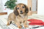 Pheobe Long Hair ACA Female Dachshund
