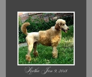 Father of the Poodle (Standard) puppies born on 12/15/2020