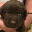 Labrador Retriever Puppy For Sale in CHICO, CA