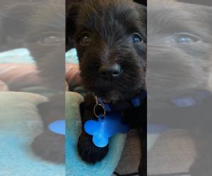 Schnauzer (Miniature) Puppy for sale in ELLENWOOD, GA, USA