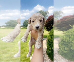 Goldendoodle Puppy for Sale in MAYFIELD, Kentucky USA