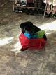 Rottweiler Puppy For Sale in JOPPA, MD,