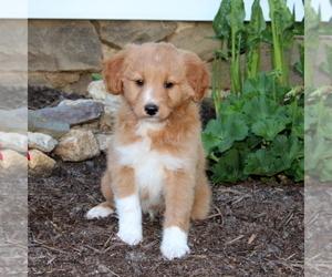 Australian Shepherd-Poodle (Miniature) Mix Puppy for sale in MANHEIM, PA, USA