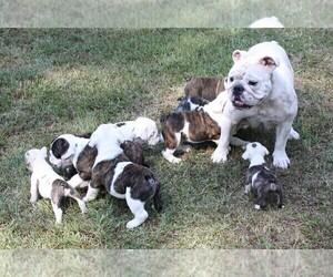 English Bulldog Puppy for sale in HEFLIN, LA, USA