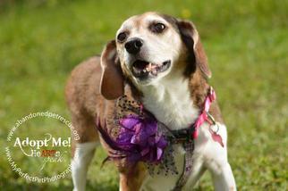 Polly - Beagle Dog For Adoption