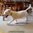 Small Photo #98 Dogo Argentino Puppy For Sale in PINEVILLE, MO, USA