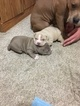 American Bully Mikelands  Puppy For Sale in CANONSBURG, PA, USA