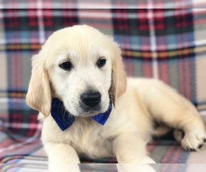 Golden Retriever Puppy for sale in CLAY, PA, USA