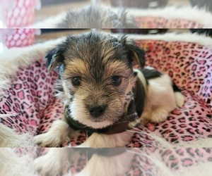 Morkie Dog for Adoption in CLACKAMAS, Oregon USA
