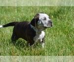 Puppy 4 Australian Cattle Dog-Treeing Walker Coonhound Mix