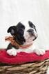 Small #3 Faux Frenchbo Bulldog
