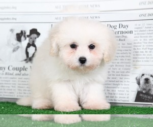 Maltipoo Puppy for sale in BEL AIR, MD, USA