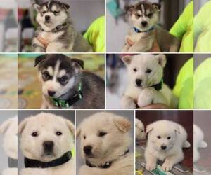Alusky Puppy for sale in ELK GROVE, CA, USA