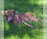 Small #171 Australian Shepherd-Chocolate Labrador retriever Mix