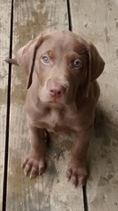 Labrador Retriever Puppy For Sale in STILWELL, KS, USA