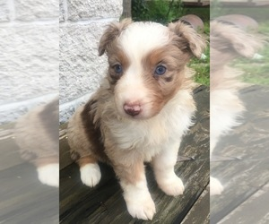 Australian Shepherd Puppy for Sale in ARBA, Indiana USA