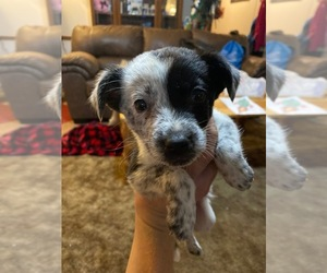 Texas Heeler Puppy for sale in SKIATOOK, OK, USA