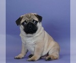 Puppy 1 Pug