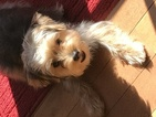Morkie Puppy For Sale in BROAD RUN, Virginia,