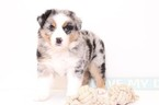 Australian Shepherd Puppy For Sale in NAPLES, FL
