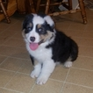 Australian Shepherd Puppy For Sale in MIDDLETOWN, Ohio,