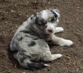 Australian Shepherd Puppy For Sale in WILLISTON, FL, USA
