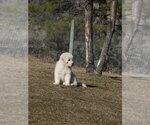 Small #5 Great Pyrenees-Tibetan Mastiff Mix