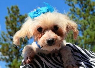 Mister - Maltese (medium coat) Dog For Adoption