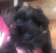 Schnauzer (Miniature) Puppy For Sale in WOOSTER, OH,