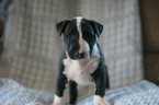 Bull Terrier Puppy For Sale in LEETONIA, OH, USA