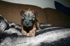 Soft Coated Wheaten Terrier Puppy Hershey
