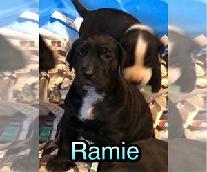 Great Dane Puppy for sale in ERIN, TN, USA