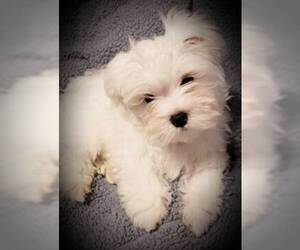 Maltese Puppy for sale in ROWLETT, TX, USA