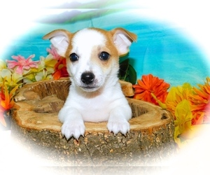 Jack-Rat Terrier Puppy for Sale in HAMMOND, Indiana USA