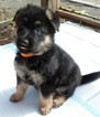 German Shepherd Dog Puppy For Sale in MANNFORD, OK