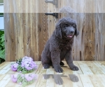 Newfoundland Puppy For Sale in SUGARCREEK, OH, USA