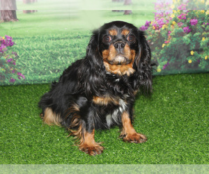 Mother of the Cavapoo puppies born on 04/13/2021