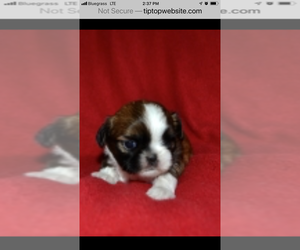 Shih Tzu Puppy for sale in GLASGOW, KY, USA