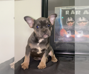 French Bulldog Puppy for sale in WALDORF, MD, USA