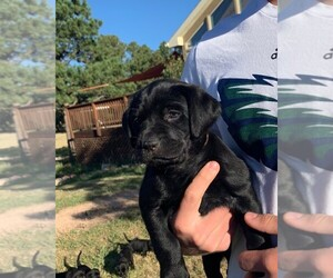 Labrador Retriever Puppy for Sale in BLACK FOREST, Colorado USA
